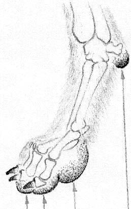 skelett eines hundes